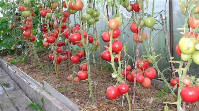 Полив томатов