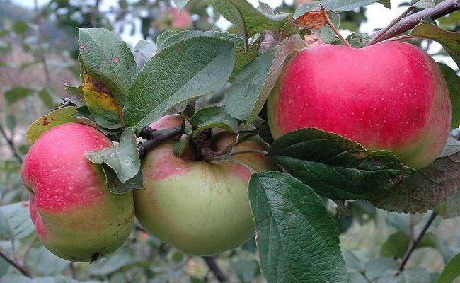 Популярная зимняя яблоня Богатырь