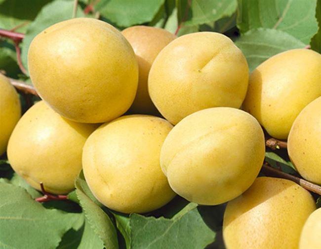 Посадка абрикоса Ананасного