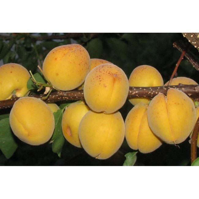 Посадка абрикоса Десертный