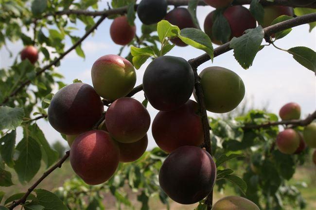 Посадка абрикоса сорта Чёрный бархат