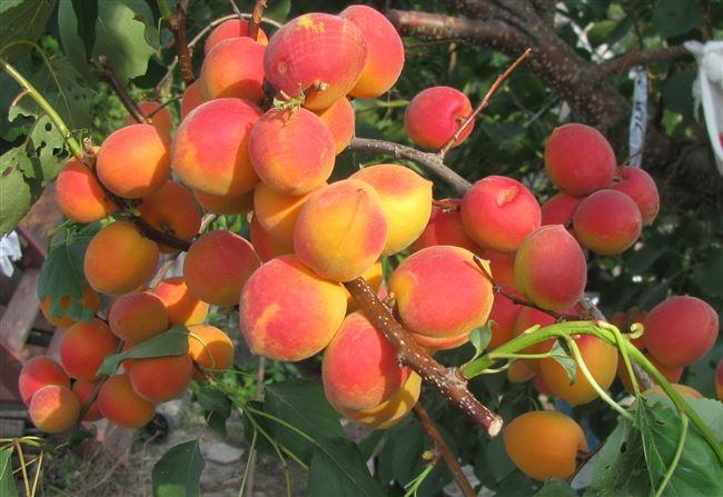 Посадка абрикоса сорта Саратовский рубин: пошаговая инструкция