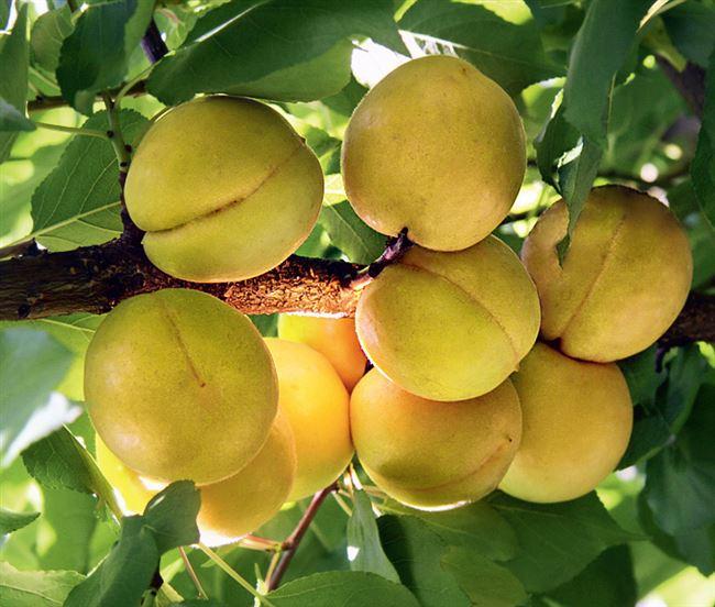 Посадка абрикоса сорта Водолей