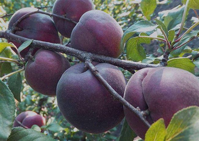 Посадка чёрного абрикоса