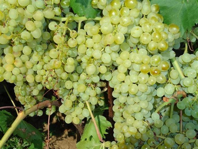 Посадка и уход за виноградом Кишмиш