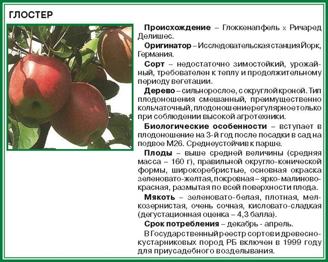 Посадка яблони сорта Глостер