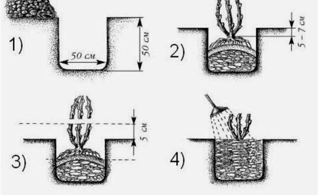 Посадка крыжовника в открытом грунте осенью, весной – когда и как посадить