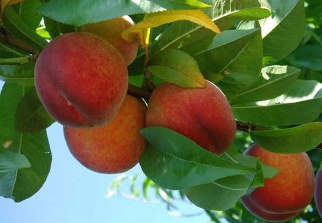 Посадка персика сорта Золотой юбилей