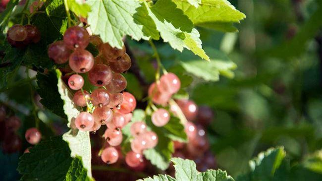 Посадка розовой смородины