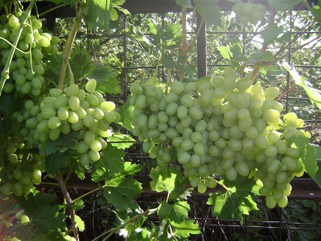 Посадка винограда сорта Аркадия и уход за ним