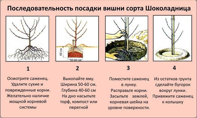 Пошаговая инструкция по высадке саженцев