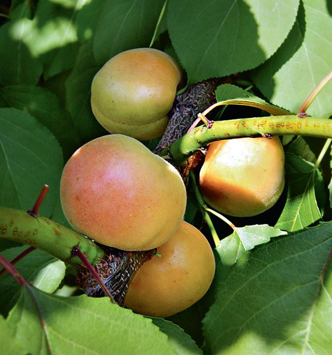 Пошаговая инструкция посадки абрикоса
