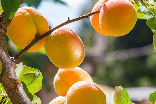 Последующий уход за абрикосом