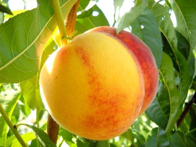 Последующий уход за персиком