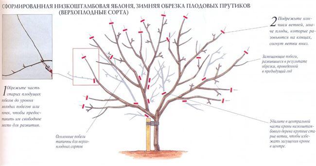 Правила и схемы обрезки яблони в зависимости от возраста дерева