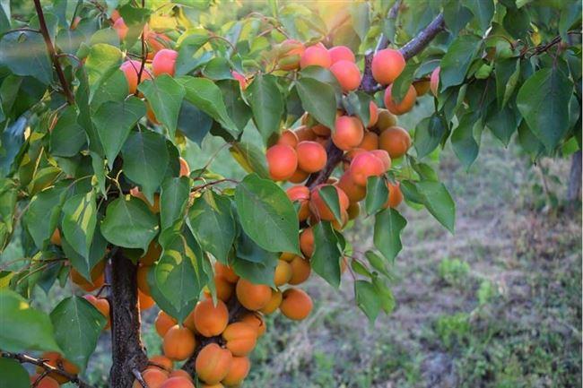 Правила сезонного ухода за абрикосом
