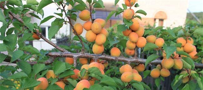 Правила ухода за абрикосами