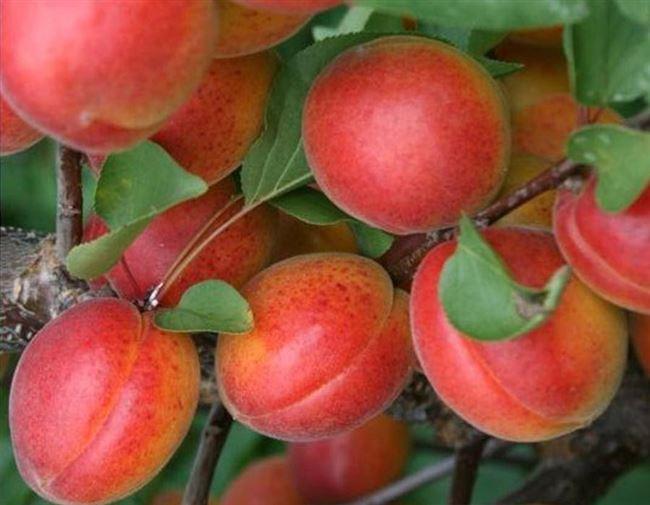 Правила ухода за абрикосом