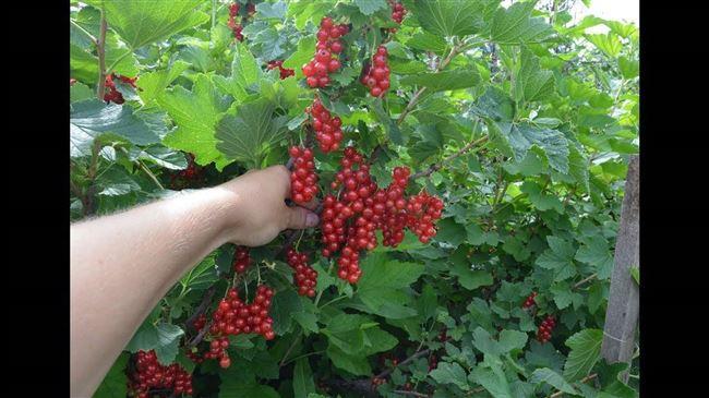 Правильная посадка красной смородины Сахарная