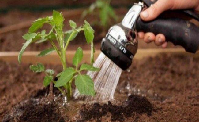 Правильный полив малины – залог хорошего урожая!