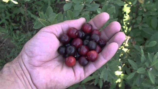 Преимущества сорта вишни Бессея