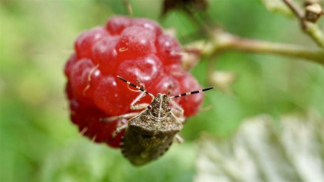 Препараты против жука-малинника