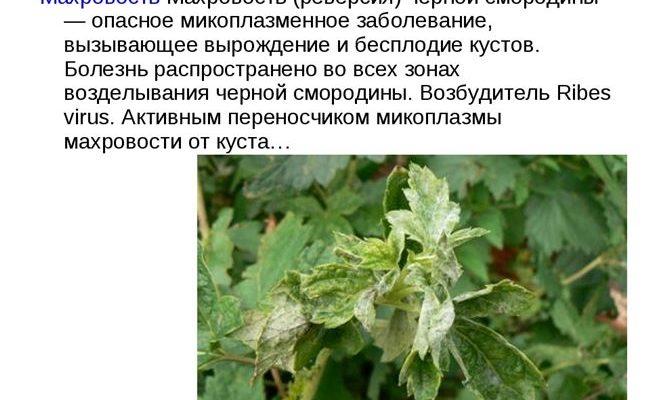 Причины и методы борьбы с махровостью черной смородины, что делать для лечения