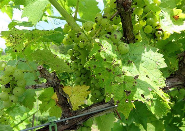 Причины появления инфекции в винограднике
