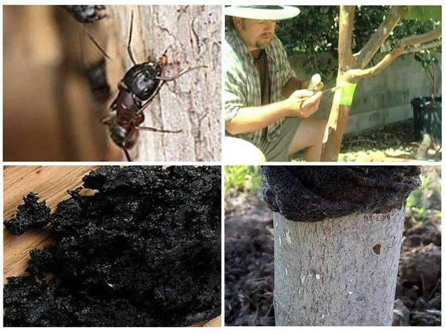 Причины появления муравьёв на яблоне