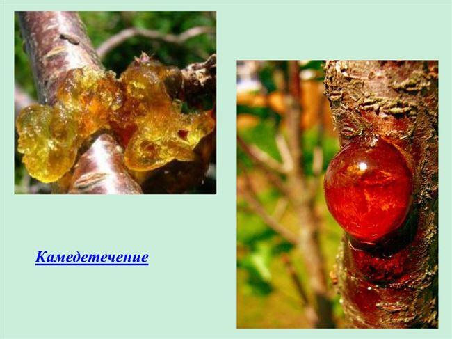 Причины развития гоммоза