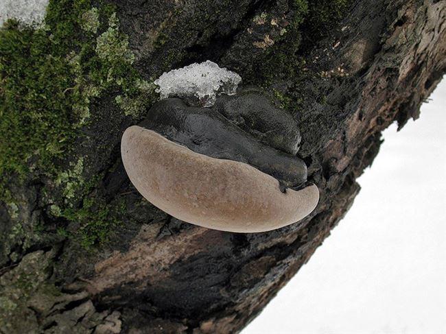 Признаки поражения яблони грибом трутовиком