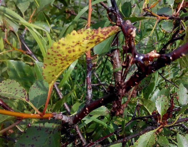 Признаки заражения вишни коккомикозом