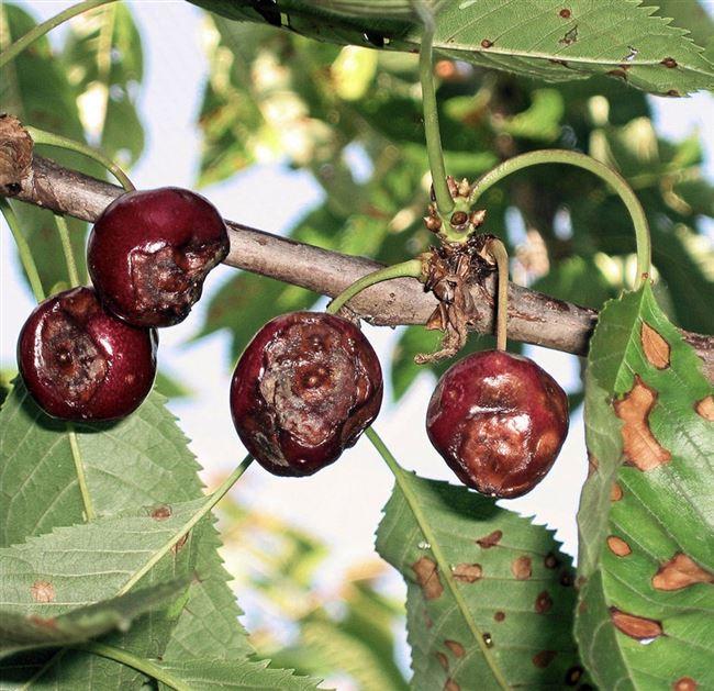 Профилактика антракноза вишни