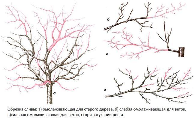 Простая обрезка сливы весной. Учитываем особенности сорта дерева