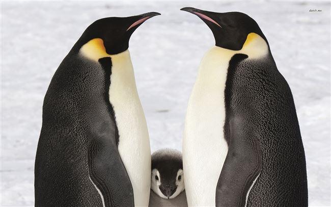 Размножение Королевского Пингвина