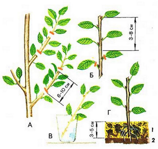 Размножение черешни зелеными черенками