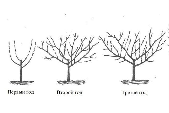 Размножение и обрезка