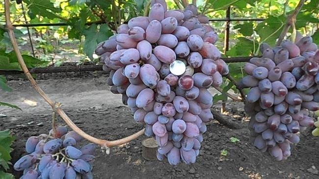 Размножение и посадка винограда Байконур