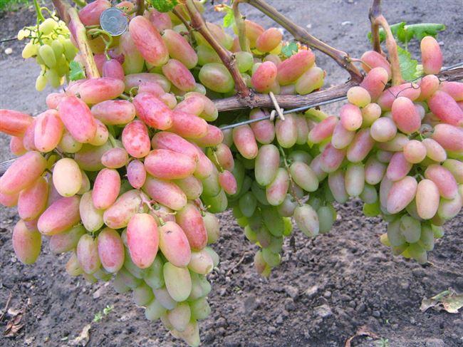 Размножение и посадка винограда Юбилей Новочеркасска, нюансы полива, обрезки и удобрения