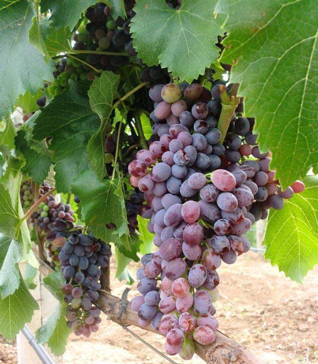 Размножение и посадка винограда Юпитер