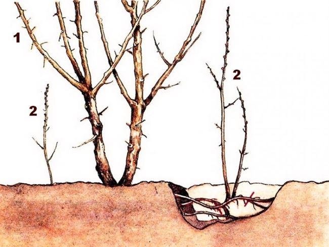 Размножение корневой порослью