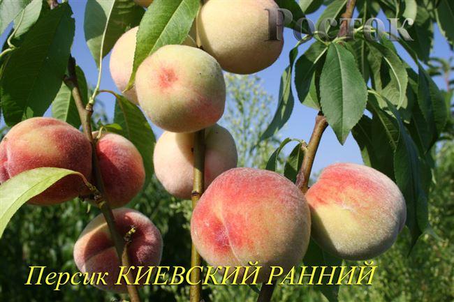 Размножение персика