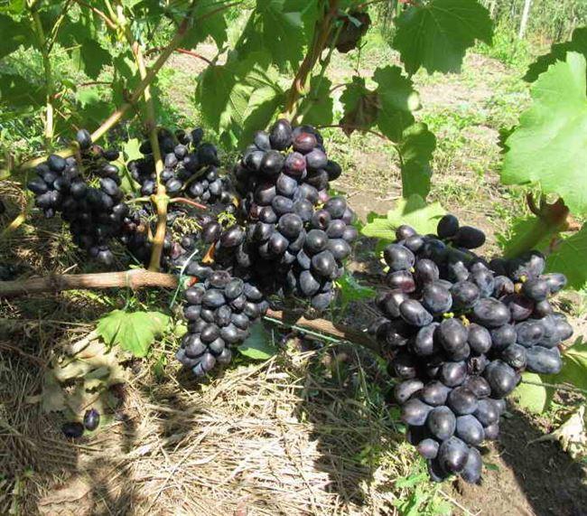 Размножение винограда Кодрянка черенками