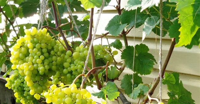 Размножение винограда алешенькин