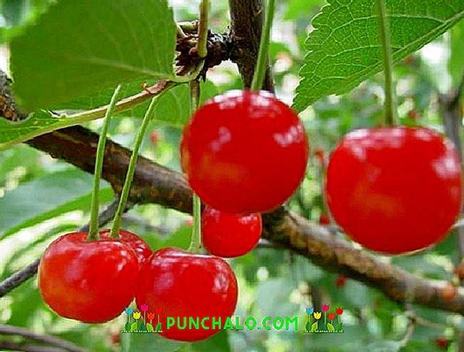 Рекомендации по уходу за деревьями вишни сорта «Фея»