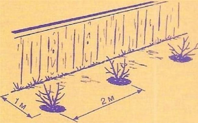 Рекомендуемые расстояния между кустами