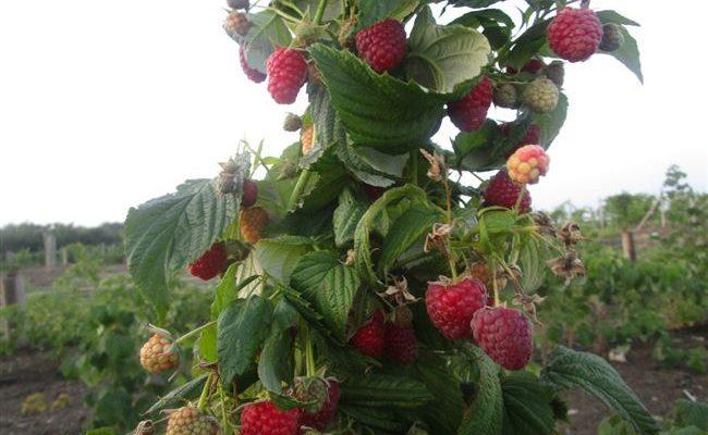 Ремонтантная малина Полька: характеристики сорта и правила выращивания