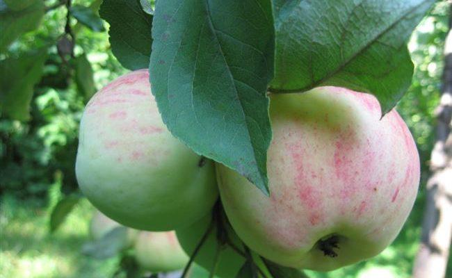 Штрифель — сорт яблок, описание и характеристика, как ухаживать за яблоней