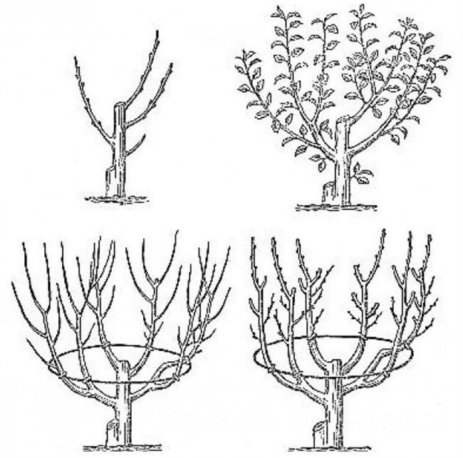 Схема формирования кроны молодой яблони