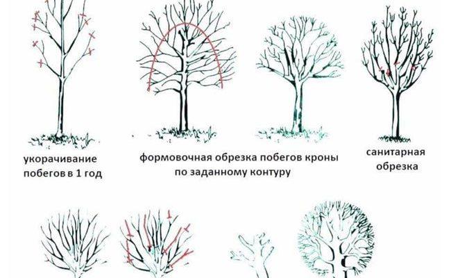 Схемы формирования кроны яблони и правила обрезки ветвей